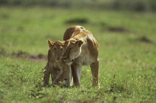 Stock Photo: 1555R-331582 Nurturing lioness