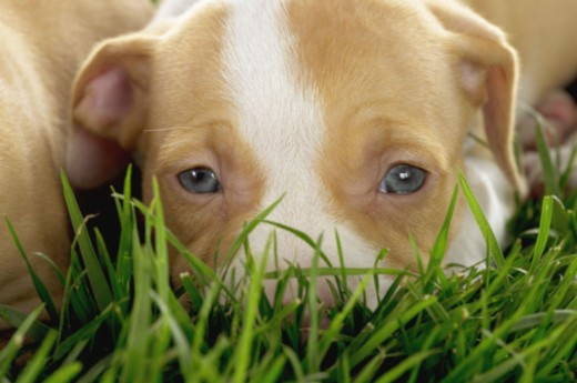 Stock Photo: 1555R-332124 Puppy in the grass