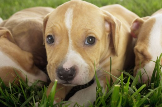 Puppies laying in grass : Stock Photo
