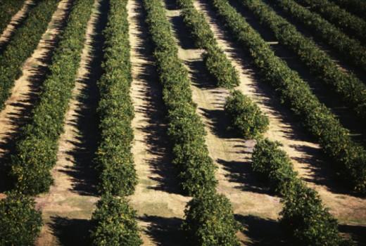 Orange grove : Stock Photo