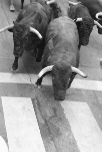 Stock Photo: 1555R-333276 Bulls at the starting Line, Pamplona, Spain