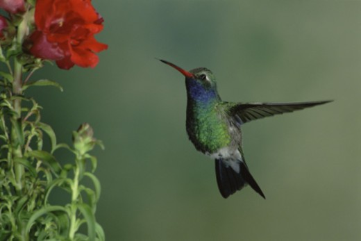 Stock Photo: 1555R-334162 Hummingbird flying