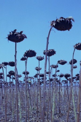 Stock Photo: 1555R-337420 Wilting sunflowers in dry field