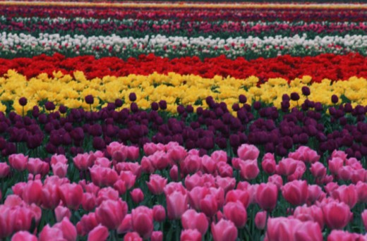 Tulip farm : Stock Photo