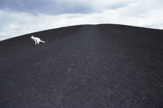 Dog at craters of moon : Stock Photo