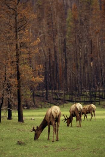 Elk grazing ,Yellowstone National Park ,Wyoming : Stock Photo