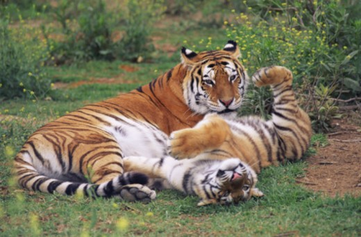 Bengal tigers playing : Stock Photo