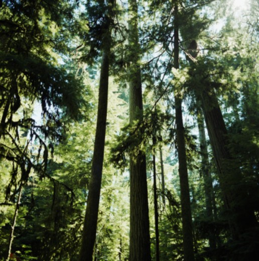 Coniferous forest : Stock Photo