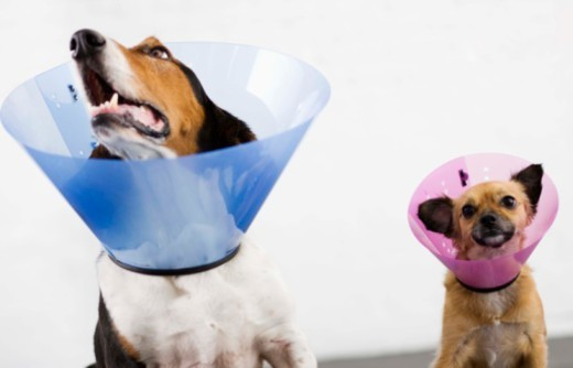Stock Photo: 1555R-343125 Dogs with cone collars