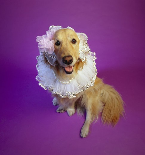 Golden Retriever with frilly collar : Stock Photo