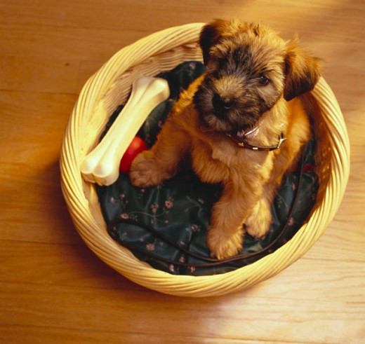 Stock Photo: 1555R-9092 Wheaten Terrier looking with curiosity