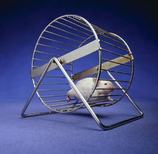 Rat running in exercise wheel : Stock Photo