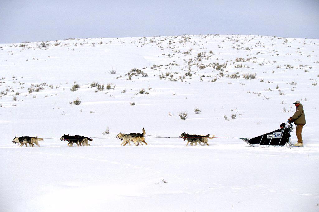 Husky dogs racing across the snow : Stock Photo