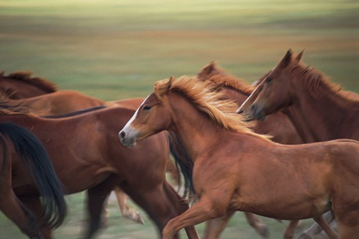 Stock Photo: 1557R-0223 Herd of horses running near Fairplay, Colorado