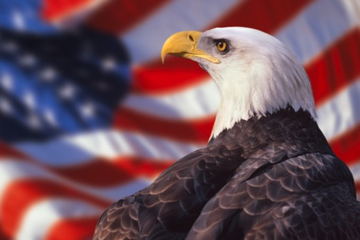 Stock Photo: 1557R-0329 Bald eagle and american flag