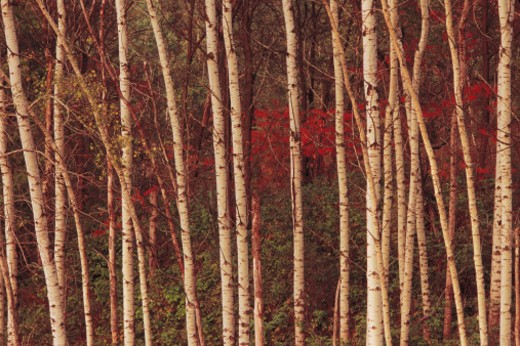 Birch trees in autumn : Stock Photo