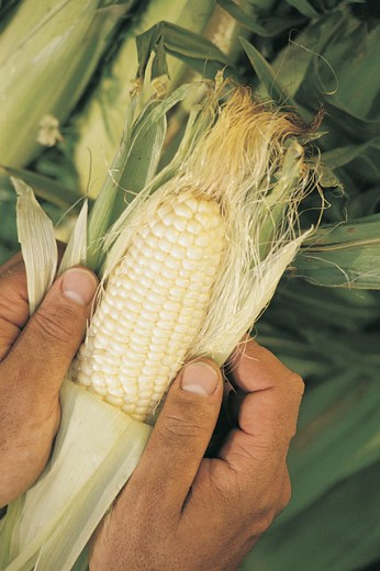 Stock Photo: 1557R-279372 Hands holding ear of white corn