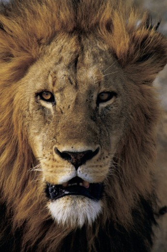 Head of lion : Stock Photo