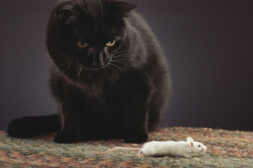 Black cat watching white mouse : Stock Photo