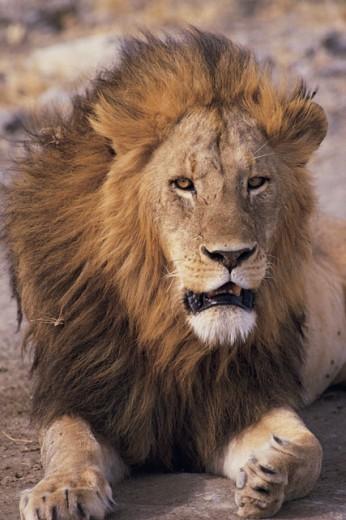 Male lion in Ngorongoro Crater , Tanzania : Stock Photo