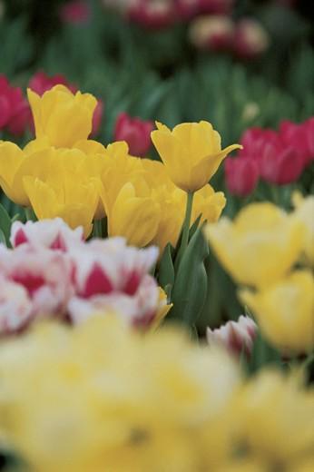 Stock Photo: 1557R-286633 Tulips