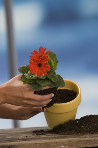 Stock Photo: 1557R-299262 Hands potting flower