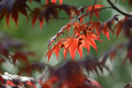 Red vine maple leaves in fall : Stock Photo