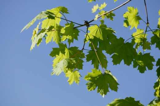 Stock Photo: 1557R-353125 Leaves of a tree against sky