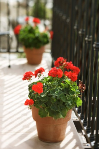 Stock Photo: 1557R-354220 Flowers in flowerpots