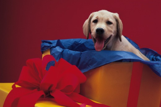 Dog in gift box : Stock Photo