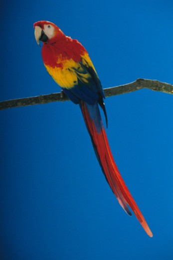 Scarlet Macaw : Stock Photo