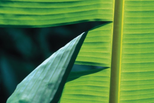 Banana palm leaf close-up : Stock Photo