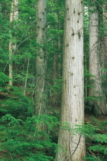 Stock Photo: 1557R-361588 Cedar trees in Glacier National Park in Montana