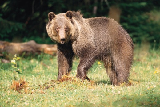 Grizzly bear in Montana : Stock Photo