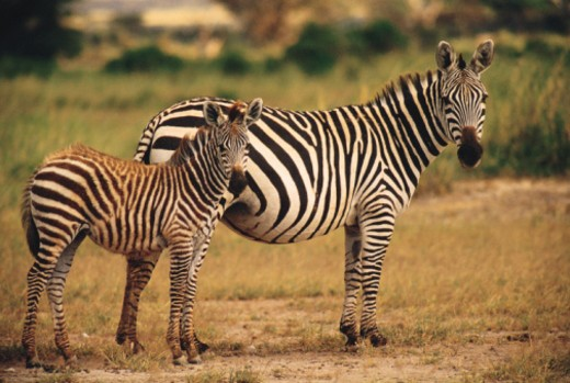 Stock Photo: 1557R-363501 Zebras , Amboseli National Park , Kenya , Africa