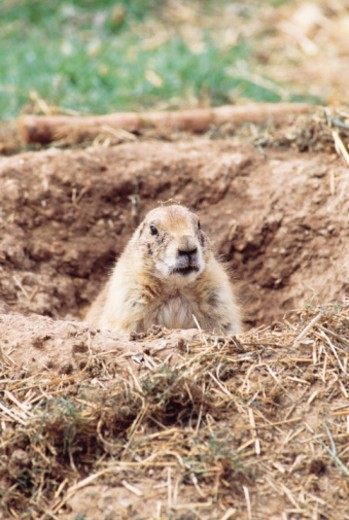 Blacktail prairie dog , Sonora Desert Museum , Tucson , Arizona : Stock Photo