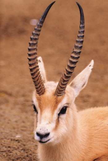 Saharan dorcas gazelle : Stock Photo