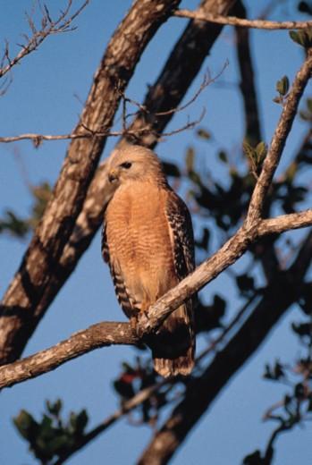 Red shouldered hawk , J.N. Darling Wildlife refuge , Florida : Stock Photo