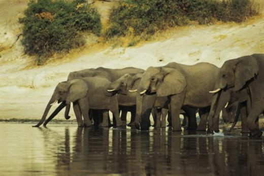 African elephants , Chobe National Park , Botswana : Stock Photo