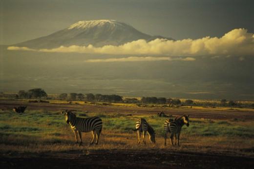Stock Photo: 1557R-367640 Burchell's zebra , Mt. Kilimanjaro , Amboseli National Park , Kenya , Africa