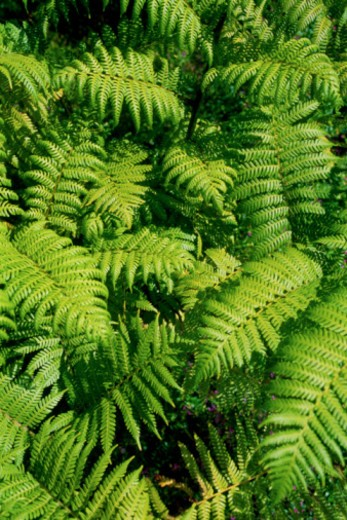 Stock Photo: 1557R-370590 Fern leaves