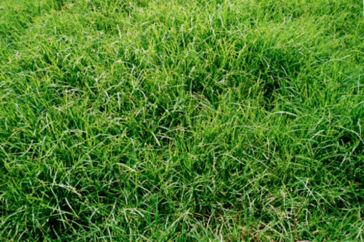 Stock Photo: 1557R-374294 Grass