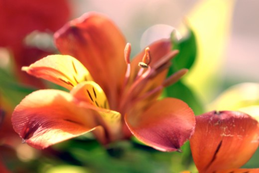 Stock Photo: 1557R-377495 Lily