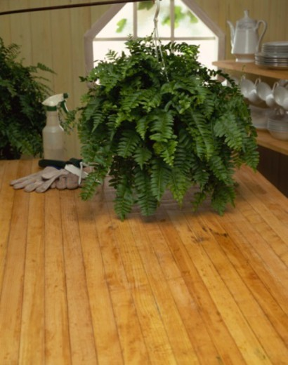 Stock Photo: 1557R-385257 Fern in kitchen