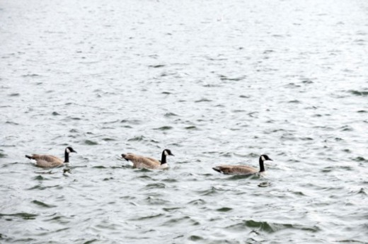 Stock Photo: 1557R-399143 Canadian geese