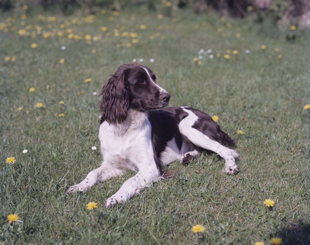Stock Photo: 1558-100868 Dog, minster countries, meadow, lie, Vigilance,   Animal, mammal, dog, pet, house dog, race dog, breed, accompanying dog, attention, interest, behavior, conduct, obedience, spring, outside,