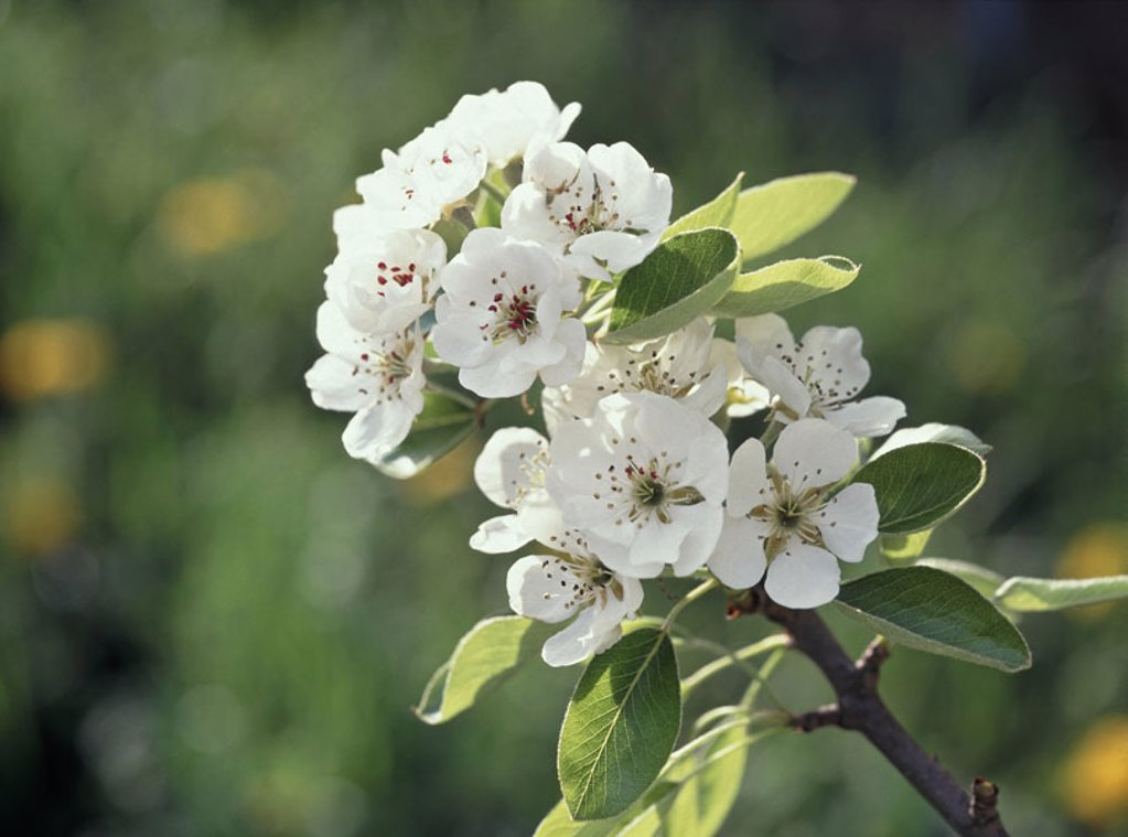 Pear tree, branch, detail, blooms, white,    Tree, fruit tree, Pyrus communis, blooms, fruit bloom,  Pear tree blooms, rose plant, nuclear fruit grove, season, spring, nature, botany, vegetation, in the spring dawn, : Stock Photo