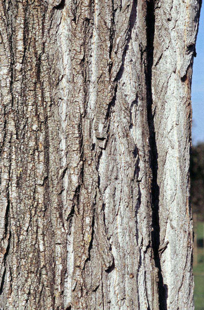 Bark, black poplar, Populus  nigra, close-up  Nature, plants, tree, poplar, trunk, log, detail, bark, rind, bark structure, patterns, gray, : Stock Photo