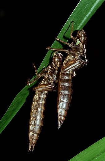 Dragonfly larvae, hatched, stalk, remains, : Stock Photo
