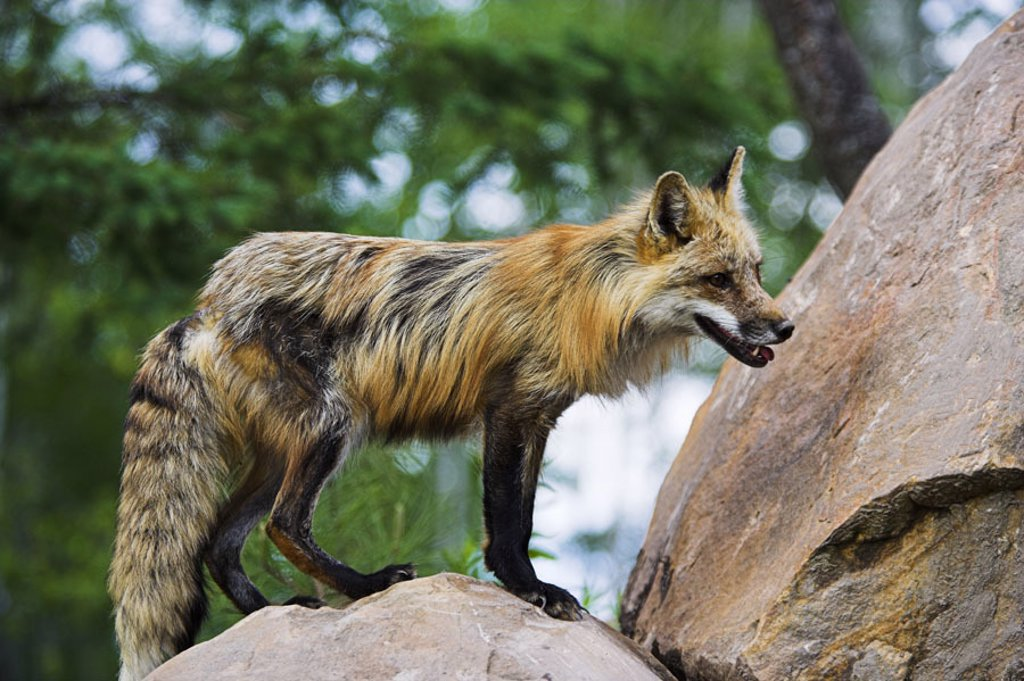 Rotfuchs, Vulpes vulpes, male,  on the side, stones, detail,   Nature, wildlife, wild animal, animal, mammal, carnivore, fox, males, fur, long-haired, hunt, expedition, lurks, attention, rocks, outside, whole bodies, talks fox, : Stock Photo
